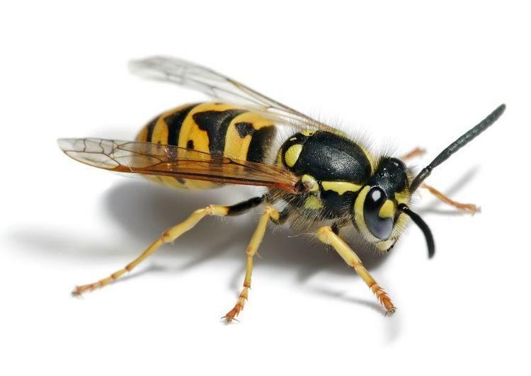 Muggen, Dazen en Wespen