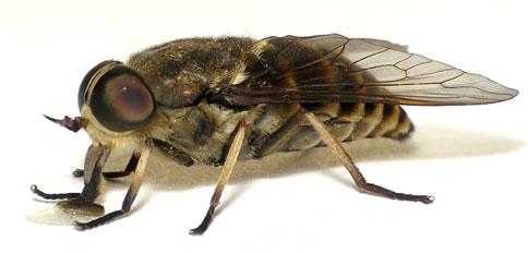 Vliegen en Klustervliegen